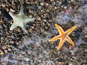 Coastal Starfish